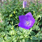 Bluebell, harebell
