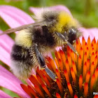 White- tailed bumblebee