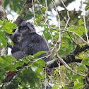 Ebony Leaf Monkey