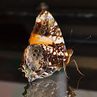 Godman's Mapwing Butterfly