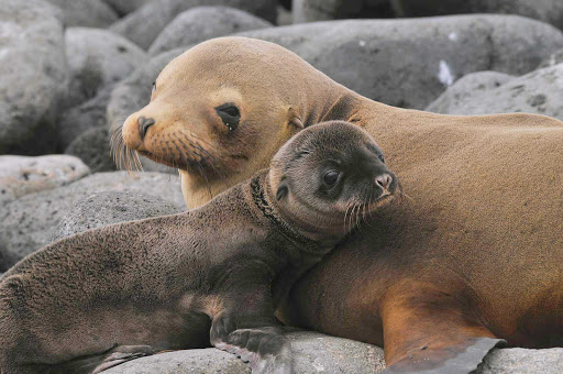 A sea lion and its pup, one of the close-up encounters possible when exploring the Galapagos.