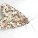 Oriental Leafworm Moth