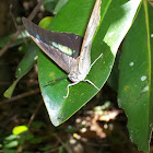 Two-spotted prepona