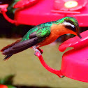 Purple-throated Mountaingem Female