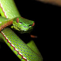 Chinese green pit-viper