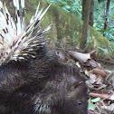 Asian Porcupine