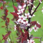 Purple-leaf Sand Cherry