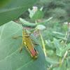 Painted Grasshopper