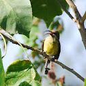 Female Variable Sunbird
