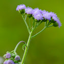 Blue Billygoat Weed (aka Floss Flower)