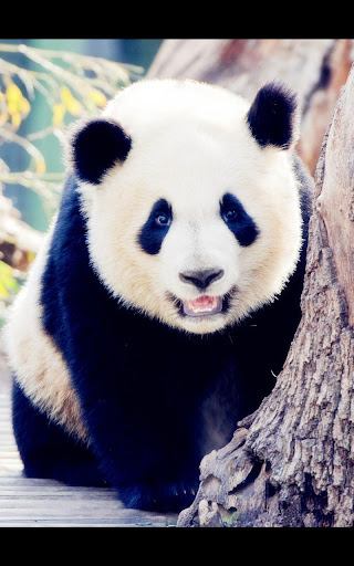 My Photo Panda Live Wallpaper