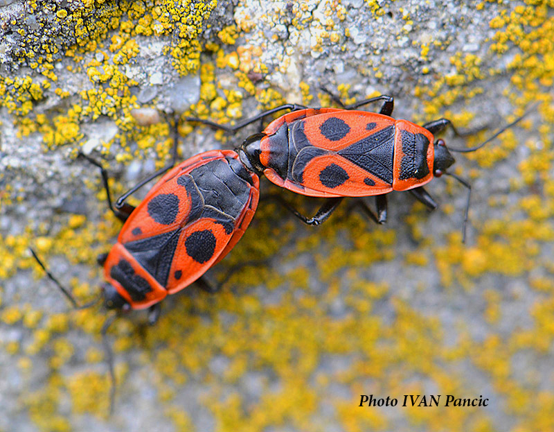 Red Fire Bugs
