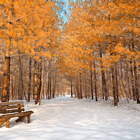 Gold Winter Pine Trail by Nicolas Raymond - Landscapes Forests ( seasonal, bench, wood, bright, vibrant, yellow, travel, glow, leaves, colour, edgemere, north point, colourful, sky, cold, nature, passage, seat, foliage, serenity, snow, trail, maryland, pine, surreal, pristine, black, branches, cool, orange, conifer, colors, white, tourism, forest, quiet, united states, colours, passageway, touristic, winter, season, serene, scene, brilliant, seating, wintery, golden, pines, calm, north point state park, america, colorful, vivid, state, way, object, frozen, freezing, landscape, usa, fantasy, chilling, path, gold, wintry, ttrees, hdr, pathway, park, lush, snowy, ethereal, chill, scenic, woods, fantastic, cyan, wooden, color, blue, freeze, vibrance, background, brown, glowing, scenery, north point park, evergreen,  )