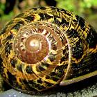Common Garden Snail,Caracol comum