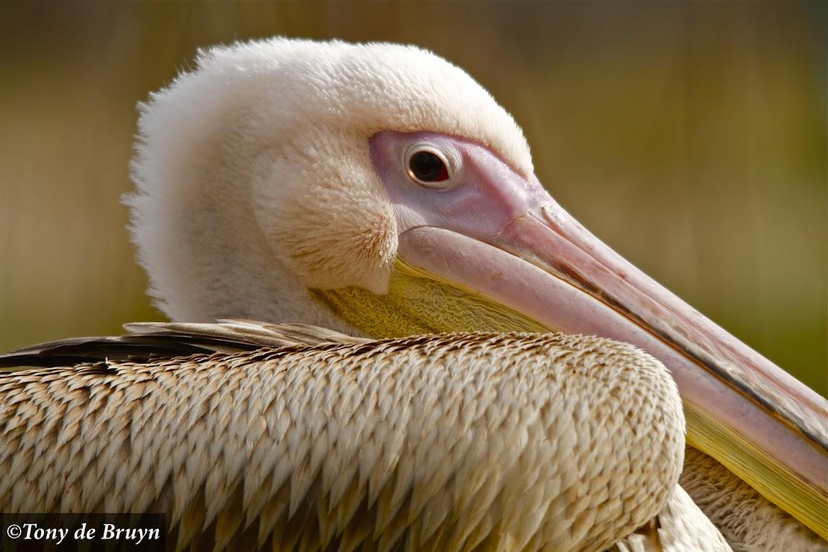Great White Pelican (juvenile)