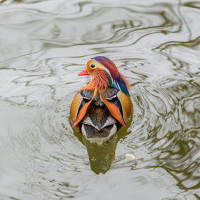 Mr. Mandarin by Avtar Singh - Animals Birds ( bird, reflection, nature, colorful, mandarin, duck, animal )