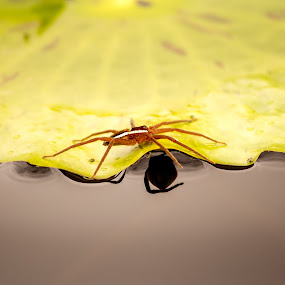 I am Spider by Malan Lombard - Animals Insects & Spiders ( water, green, spider, leaf, black,  )