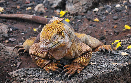 Galapagos_land_iguana - Silversea guests are likely to see a land Iguana while adventuring the lands of Galapagos.