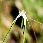 White Star Sedge