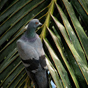 Blue Rock Pigeon