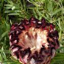 Oleanderleaf Protea