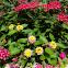 Wild Sage Flowers
