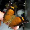 Leafwing Butterfly