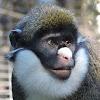 Lesser Spot-nosed Guenon