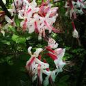Pinxter flowers