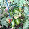 Tomato (var. San Marzano)