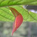 Apricot Sulphur Chrysalis