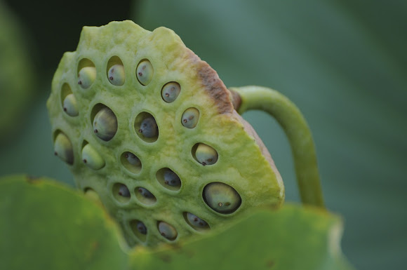water lily seed pods project noah
