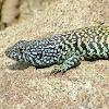 Lagartija Verde (Macho) / Jewel Lizard (Male)