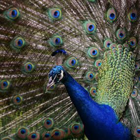 Proud Peacock by Bo Chambers - Animals Birds ( bird, strut, colors, feathers, peacock )