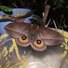 Olho-de-pavão-ruivo