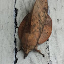 Euthrix isocyma賽紋枯葉蛾