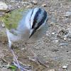 Black striped sparrow