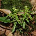 長柄千層塔(forma longipetiolatum)