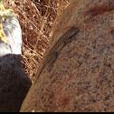 Side Bloch lizard