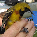 Orchard Oriole,  1st year male