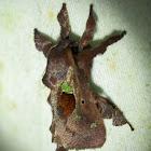 Limacodid or Slug Moth
