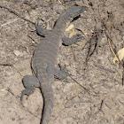 Heath Monitor Lizard