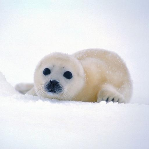 Adorable Seal Live Wallpaper