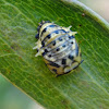 Coccinellidae pupa