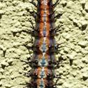 Gulf Fritallary Larvae
