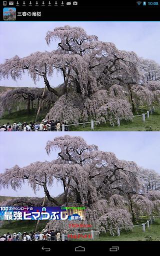 福島県 三春の滝桜 JP0044