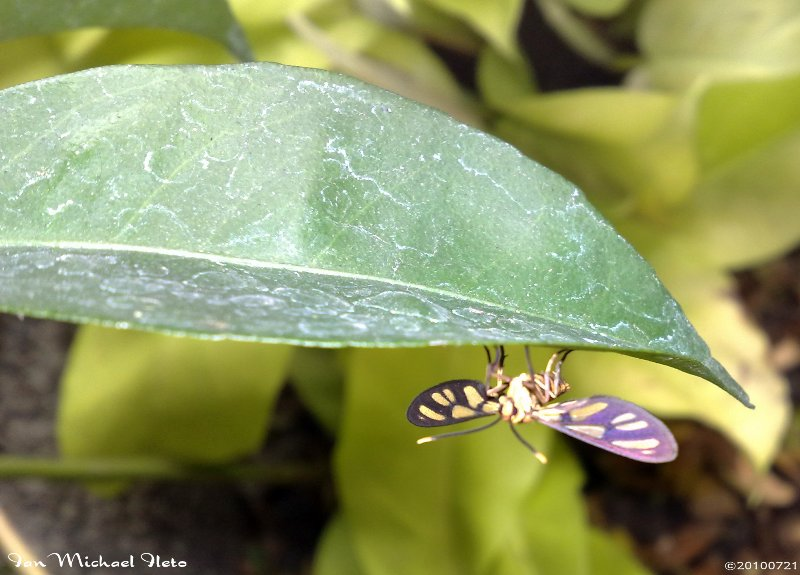 white antenna wasp moth