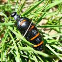 Escarabajo aceitero