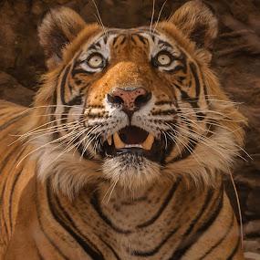 Tiger by Avtar Singh - Animals Lions, Tigers & Big Cats ( tiger eyes, tiger, avtar singh,  )