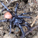 California Trapdoor Spider